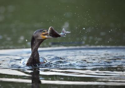 Un cormoran pêche