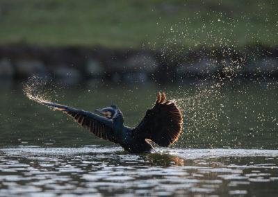 Un cormoran